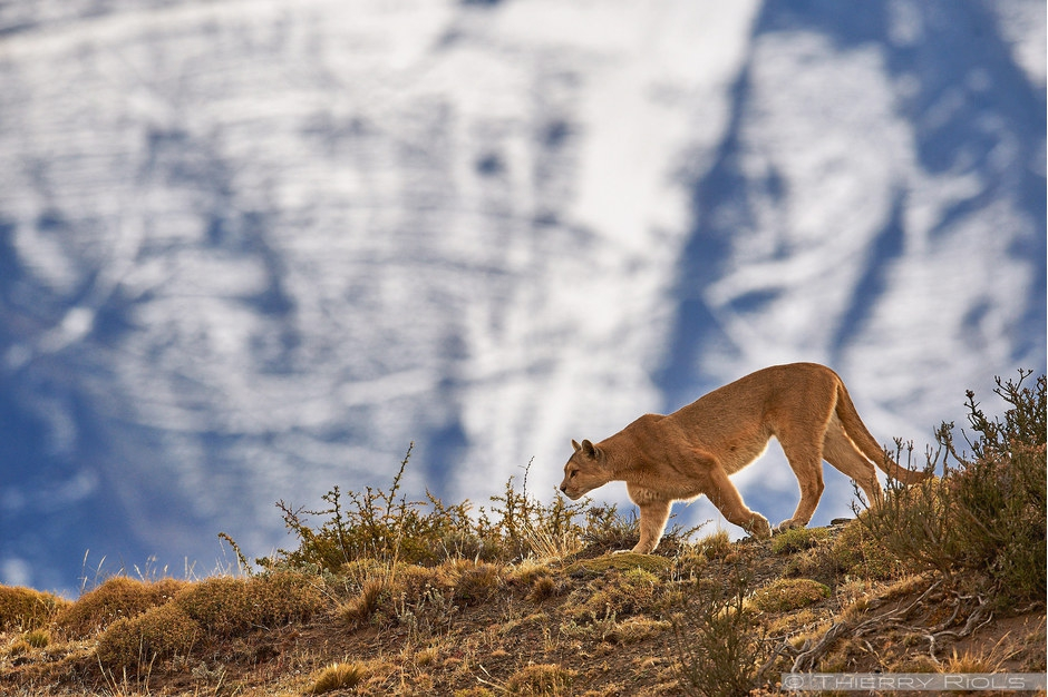 Cougar in front of Cuervo Este mountain Torres del Paine Patagonia Chili