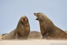 Otaries Skeleton Coast Namibie